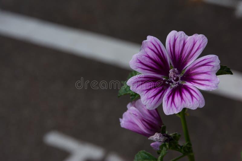 Linea di dettaglio porpora del fiore bianco della banda macro naturale immagine stock