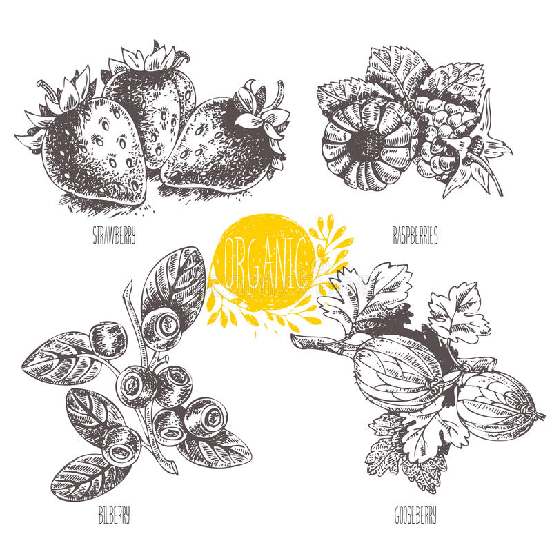 Lineaire grafisch Reeks van aardbei, framboos, bosbes, bosbes, blauwe bosbes, hurtleberry bosbes, kruisbes vector illustratie