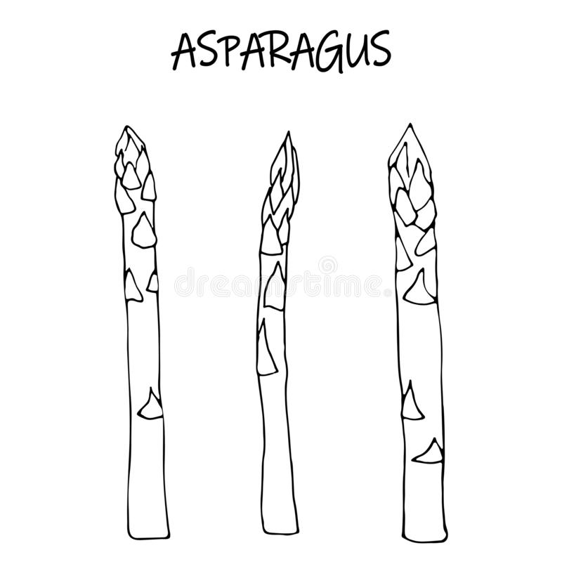 Lineaire schets ruwe asperge stock illustratie