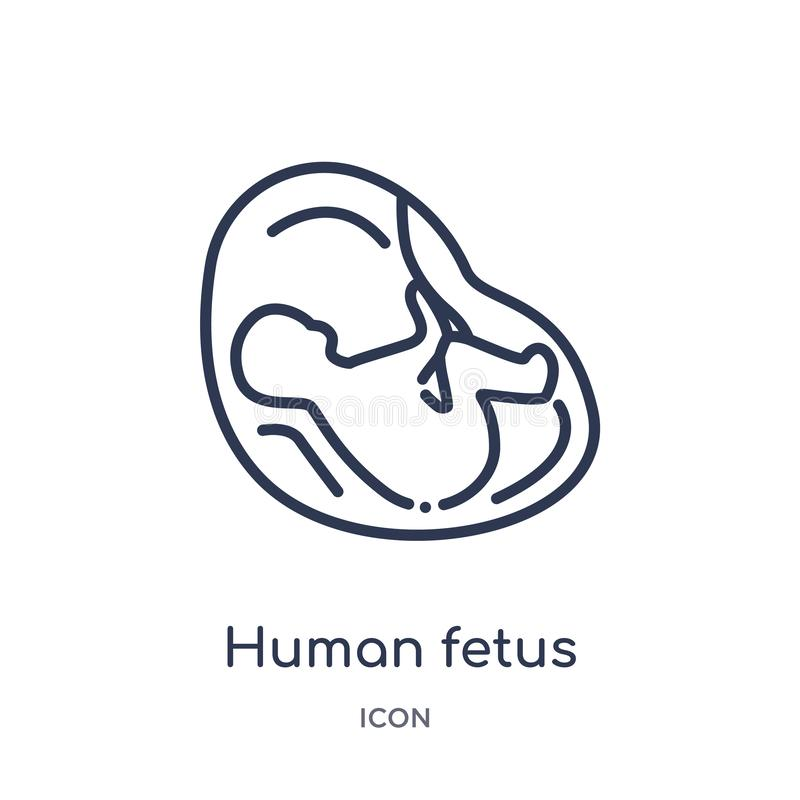 Linear human fetus icon from Human body parts outline collection. Thin line human fetus icon isolated on white background. human stock illustration