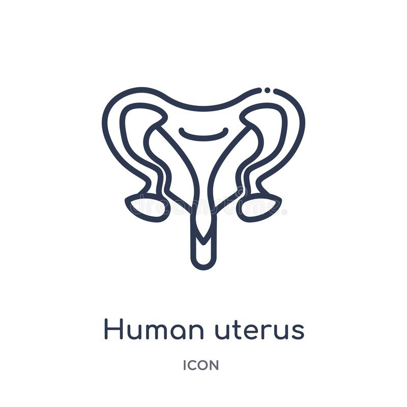 Linear human uterus icon from Human body parts outline collection. Thin line human uterus icon isolated on white background. human royalty free illustration