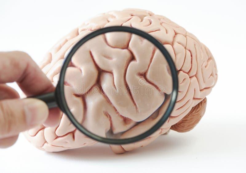 Lineare Wiedergabe des Modells des menschlichen Gehirns auf weißem Hintergrund Eine Hand, die Glas der linearen Wiedergabe hält stockbilder