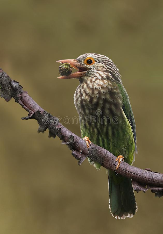 Lineated barbet royalty free stock photography