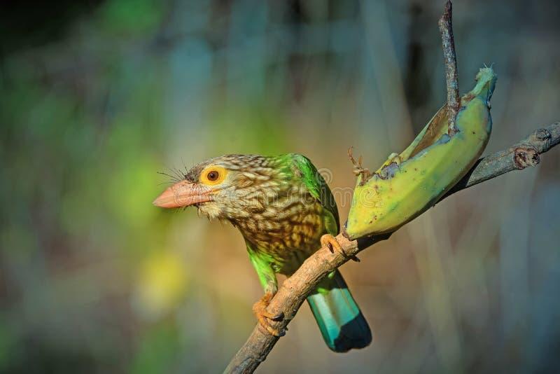 Lineated Barbet ptak na gałąź obrazy stock