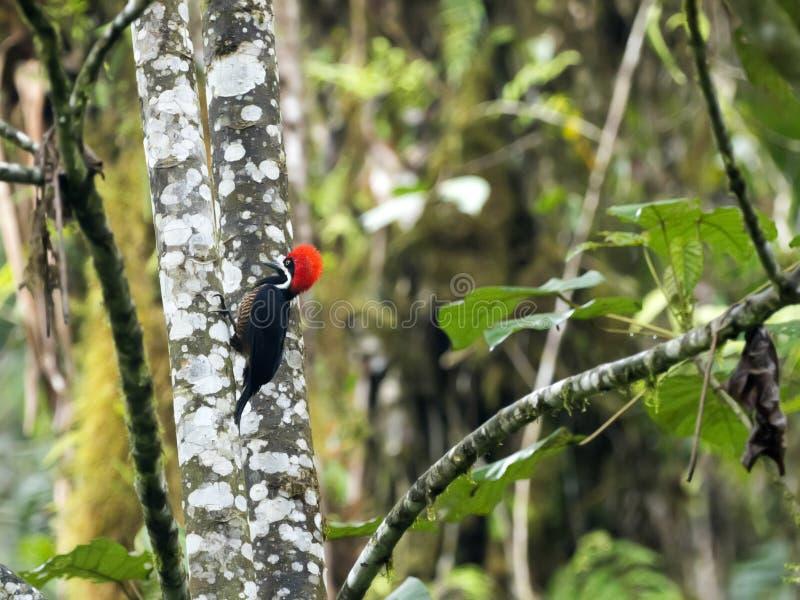 Lineated dzięcioł, Dryocopus lineatus, patrzeje dla jedzenia w mgłowym lesie, Mindo, Ekwador obraz stock