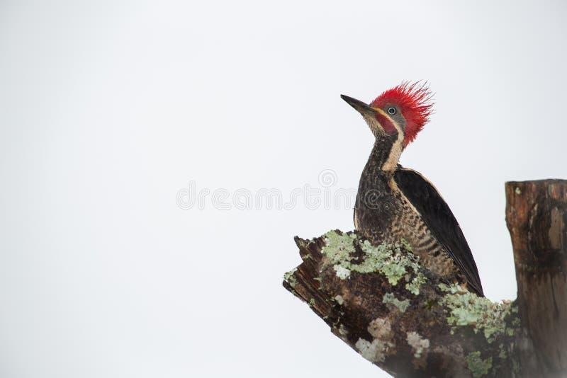 lineated woodpecker стоковые изображения