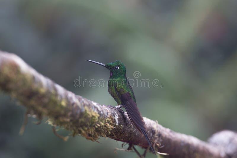lineated woodpecker стоковая фотография rf
