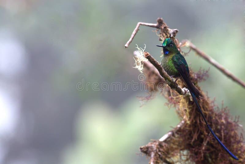 lineated woodpecker стоковое фото rf