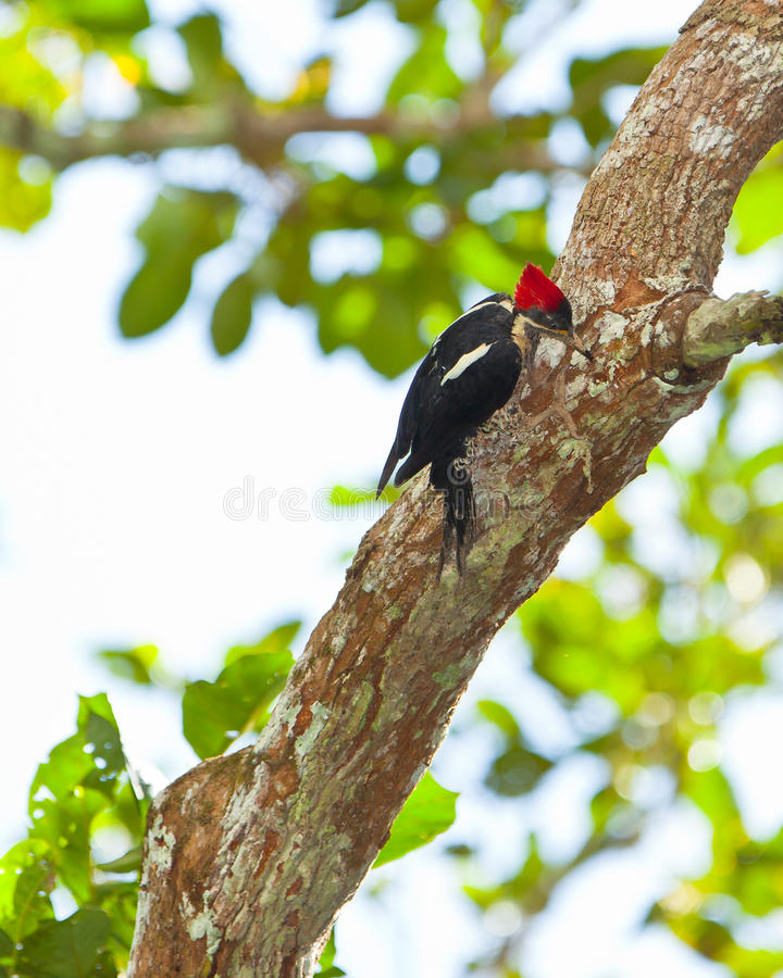 Free Lineated Woodpecker On Tree Stock Photo - 26827860