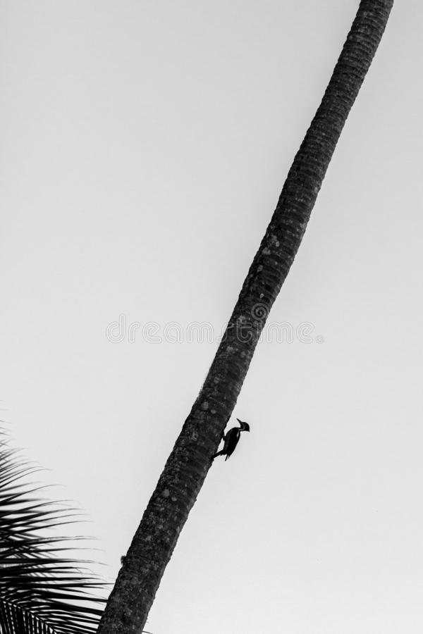 Lineated woodpecker sitting on palm tree and bulding its nest, Trinidad island. Wildlife scene from Caribean nature. Exotic adventure, bird silhouette isolated royalty free stock images