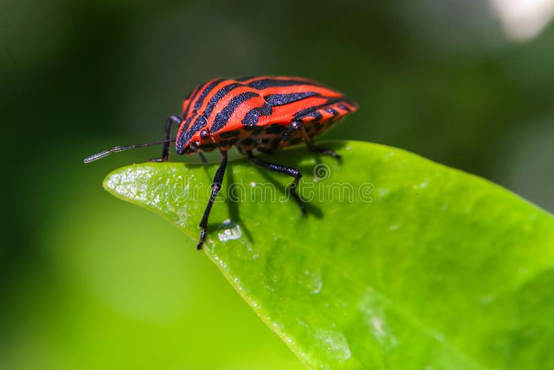 Lineatum, красный цвет & чернота Graphosoma Striped черепашка вони стоковые изображения