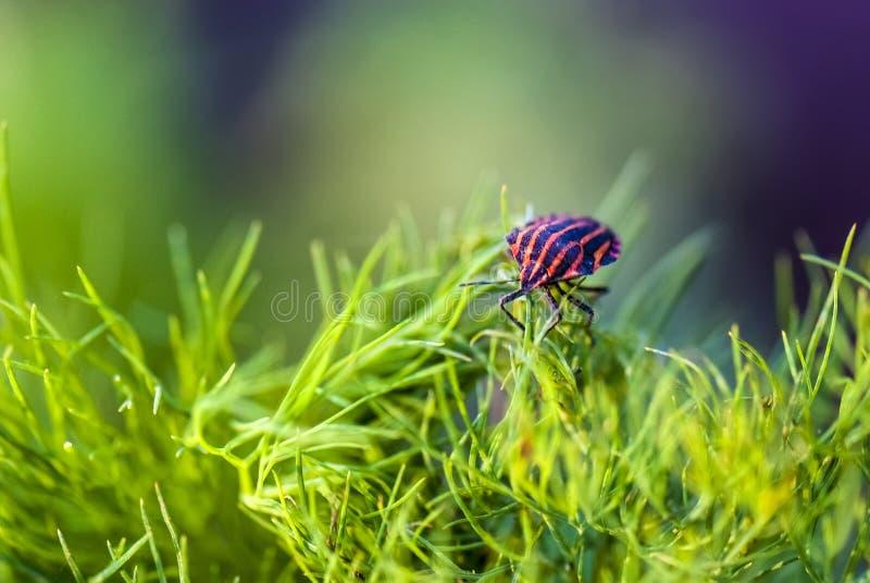 Lineatum dell'insetto o di Graphosoma del menestrello immagini stock