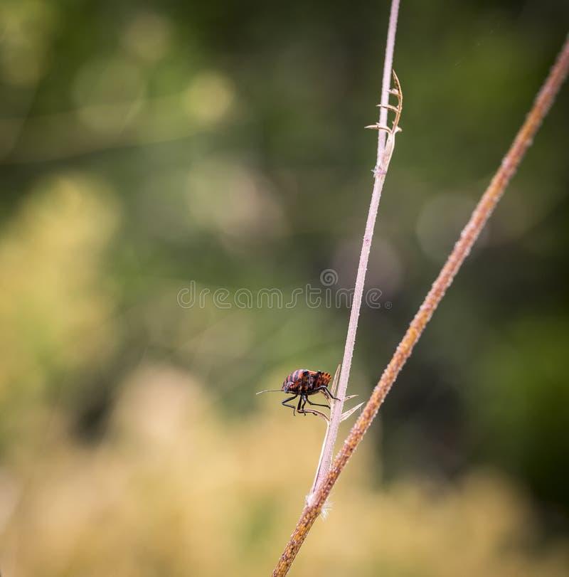 Lineatum Graphosoma - красный цвет и чернота striped черепашка на ветви завода стоковые фото