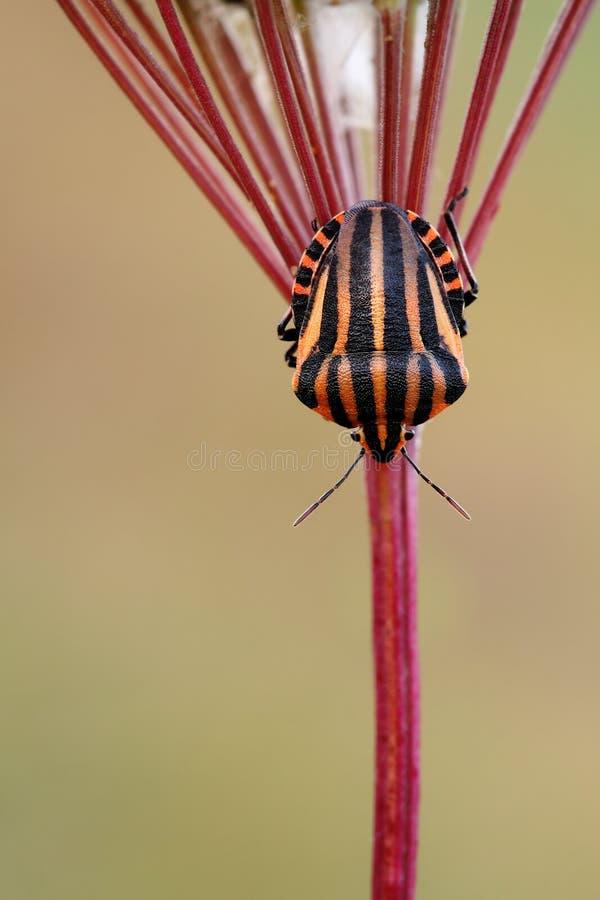 Lineatum italien de Graphosoma de Rayé-insecte images libres de droits