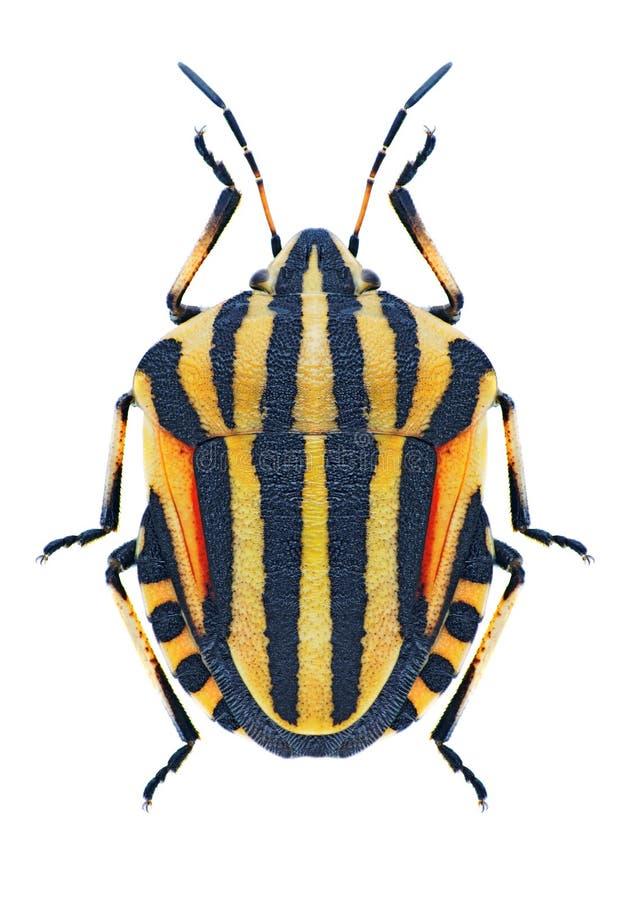 Lineatum van insectengraphosoma stock foto's