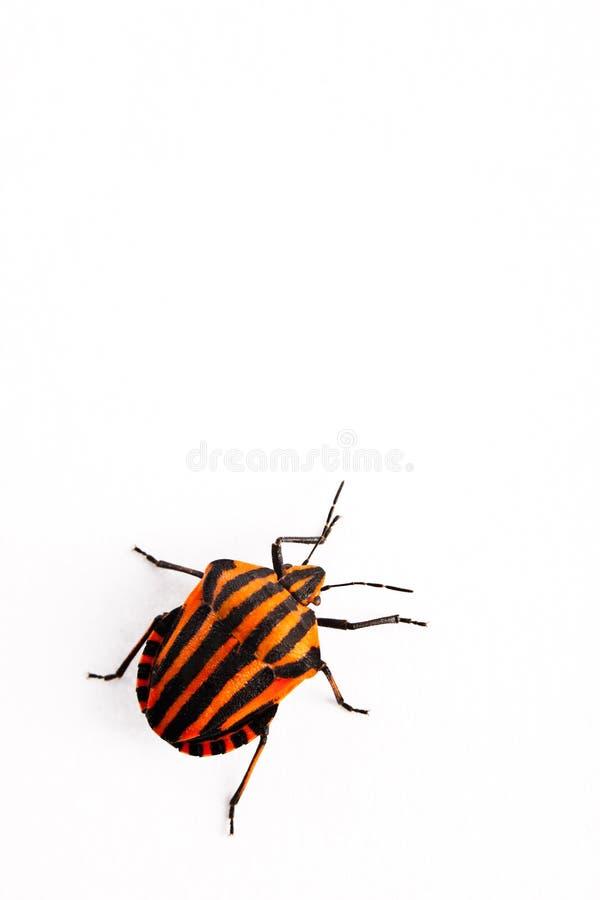 Lineatum vermelho e preto de Graphosoma do inseto imagens de stock royalty free