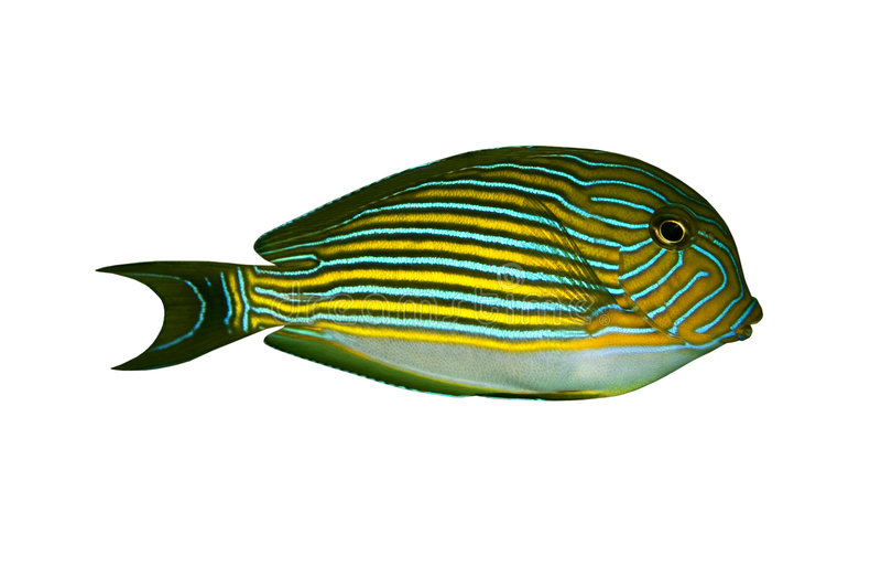 lineatus рыб acanthurus тропическое стоковые фото
