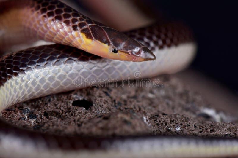 Lineatus bicolore Cannette-foui rayé de Xenocalamus de serpent photo libre de droits