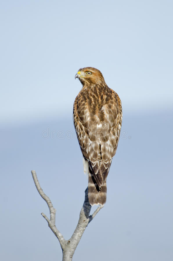 Lineatus de Buteo, faucon épaulé rouge photos libres de droits