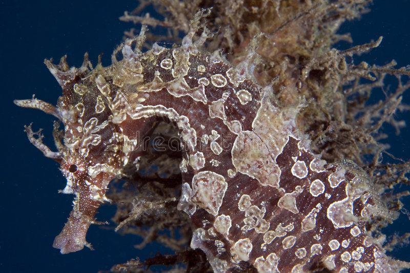 Lined Seahorse. Hippocampus erectus, picture taken in south east Florida royalty free stock photos