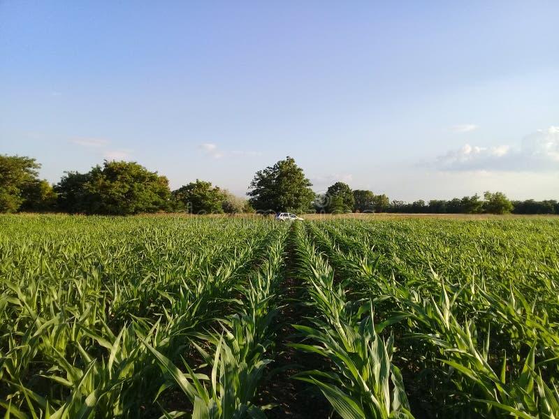 Linee del giacimento del mais del cereale fotografie stock