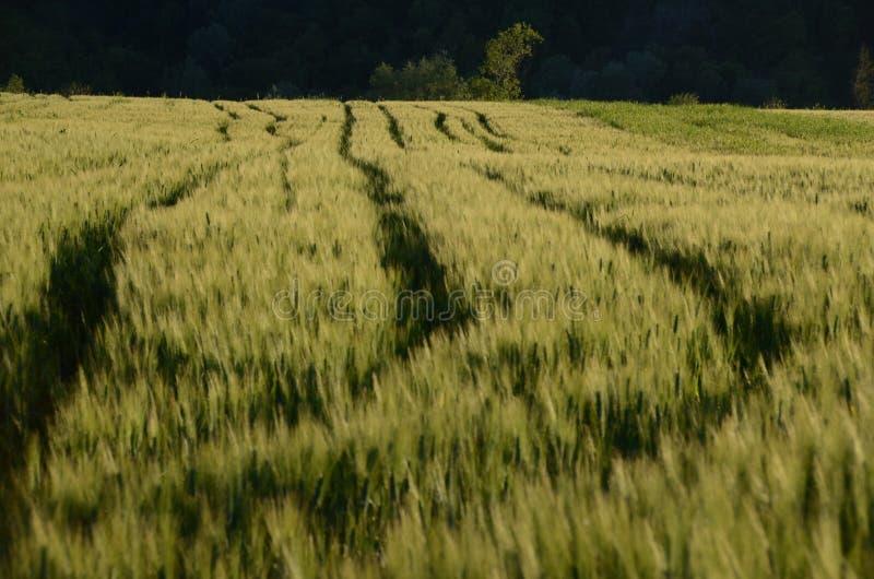 Linee del trattore nel giacimento di grano immagine stock libera da diritti
