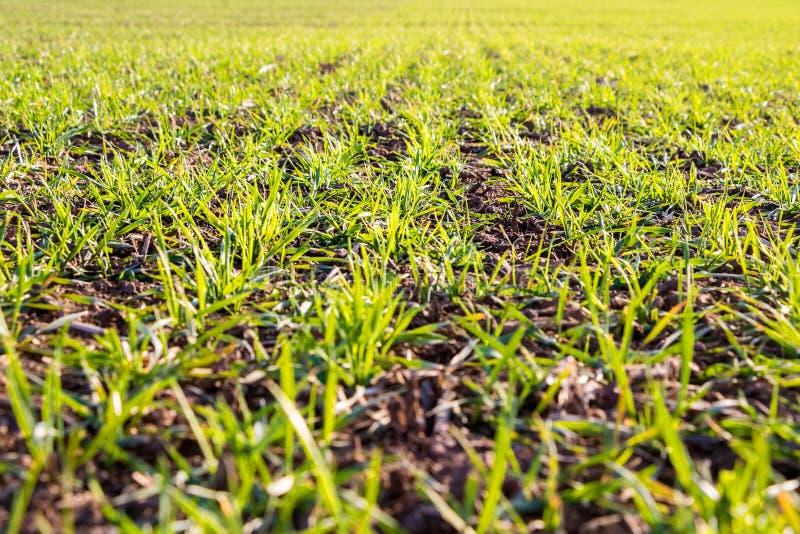 Linee di giovane campo di grano verde immagini stock
