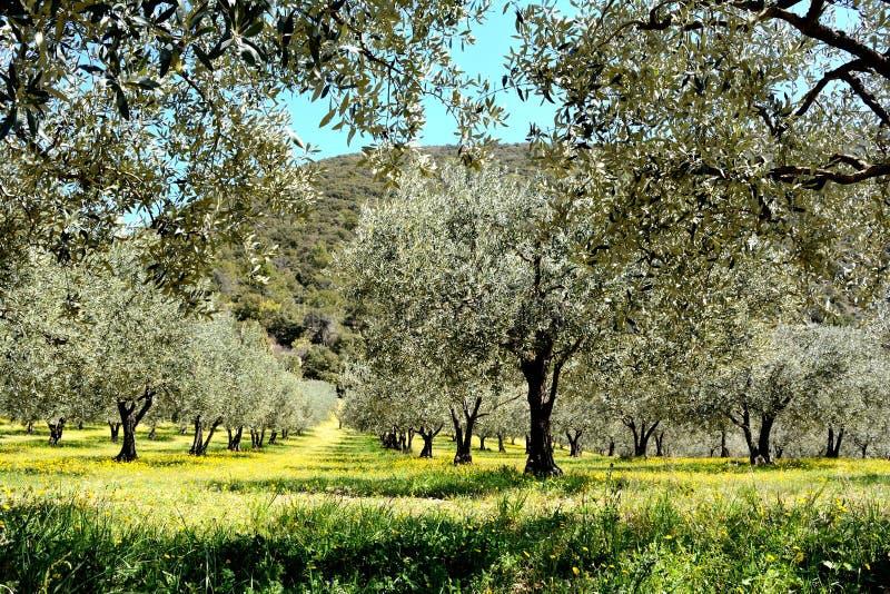Linee di di olivo in un campo, coperte dal fiore giallo della molla immagine stock libera da diritti