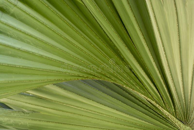 Linee di struttura dell'estratto della natura della foglia di verde della palma geometriche immagine stock