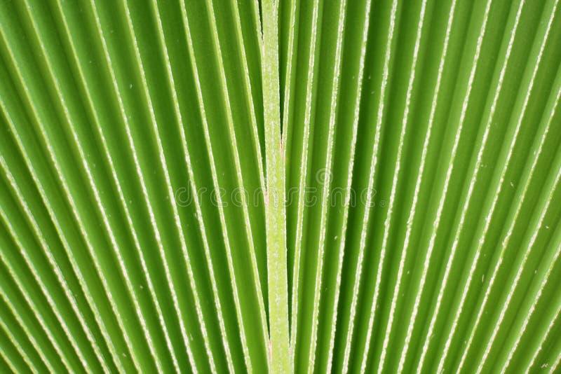Linee e struttura di foglia di palma verde immagine stock libera da diritti
