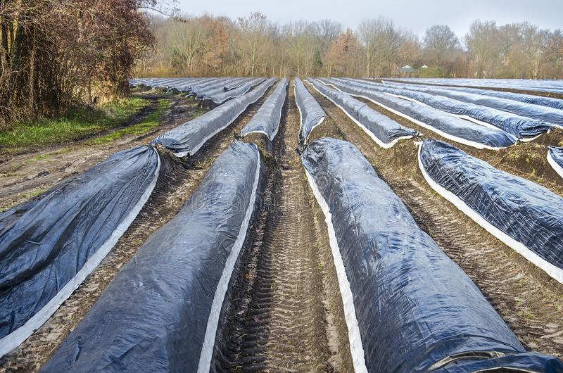Linee parallele in un giacimento dell'asparago fotografie stock