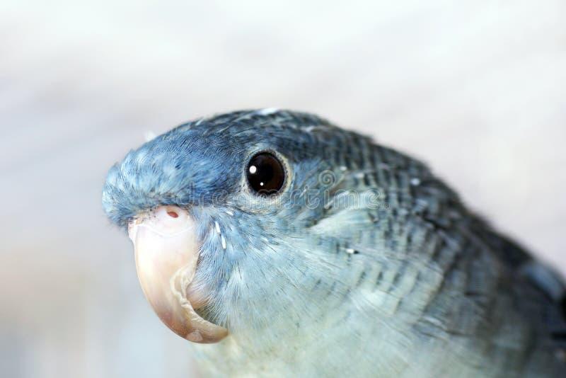 Lineolated parakeet με το μακρύ ράμφος στοκ εικόνες
