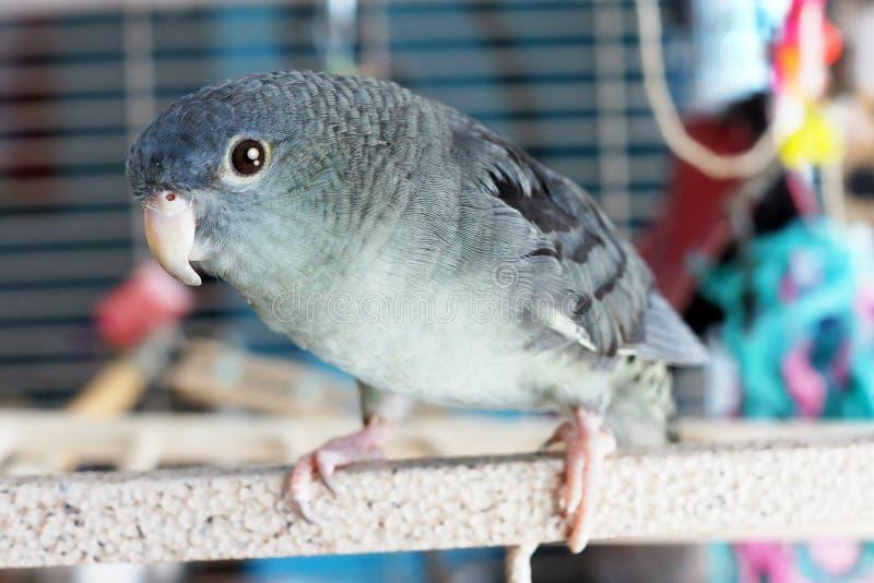 Lineolated parakeet whole