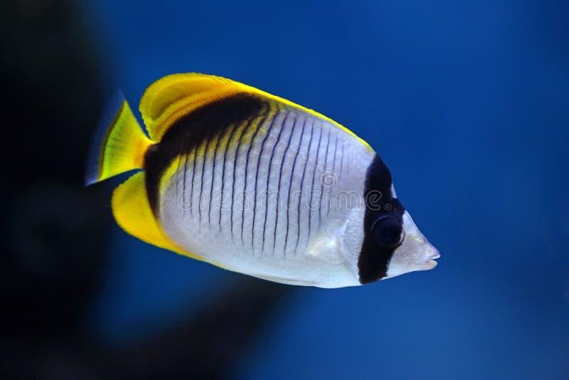Lineolatus van Chaetodon van vissen stock afbeelding