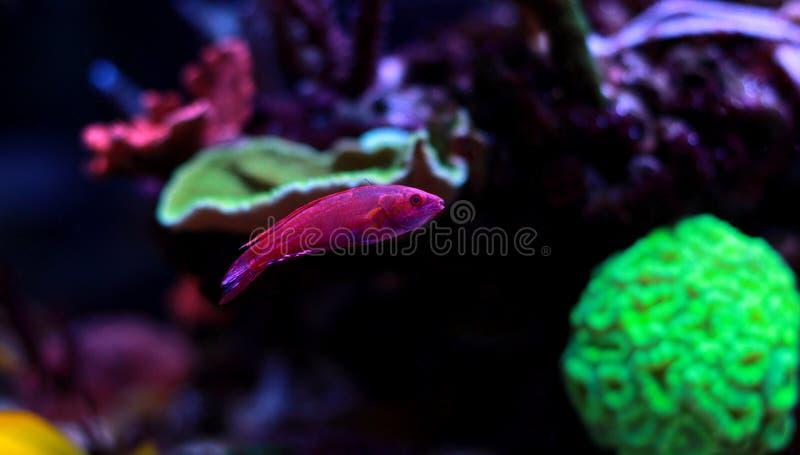 Lineopunctatus de Paracheilinus do Wrasse do pisca-pisca de Linespot imagens de stock