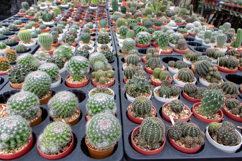 A lines of small cactuses in a pot on the table in the shop. Thailand stock photo