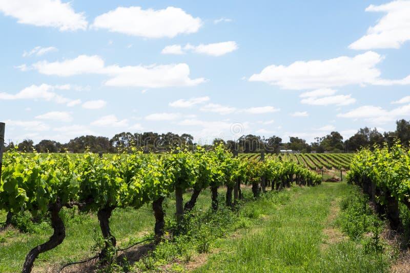 Vineyards near the Swan River, Western Australia stock photo