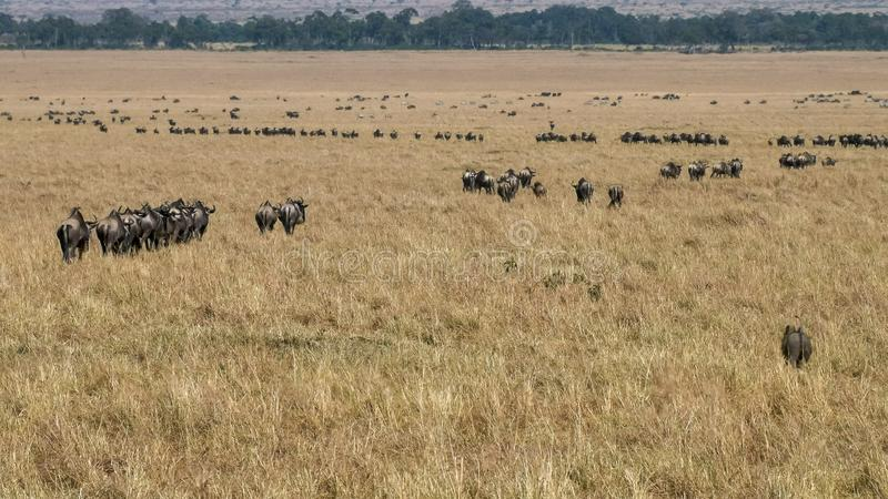 Lines of wildebeest on the annual migration in masai mara, kenya stock images