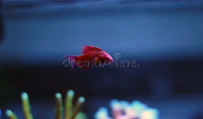 Linespot Flasher Wrasse Paracheilinus lineopunctatus stock photo