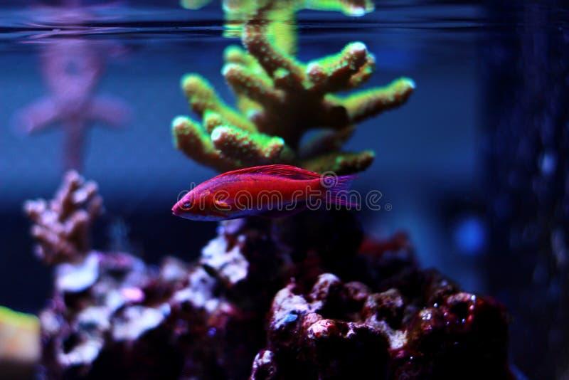 Linespot Flasher Wrasse Paracheilinus lineopunctatus. In reef aquarium tank stock photo