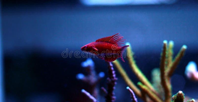 Linespot Flasher Wrasse Paracheilinus lineopunctatus royalty free stock images