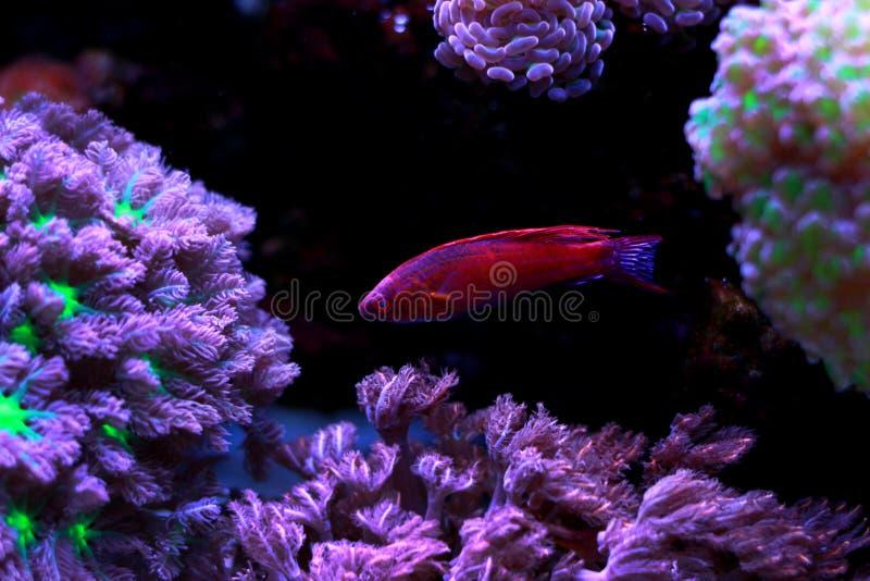 Linespot Flasher Wrasse Paracheilinus lineopunctatus. In reef aquarium tank royalty free stock photo