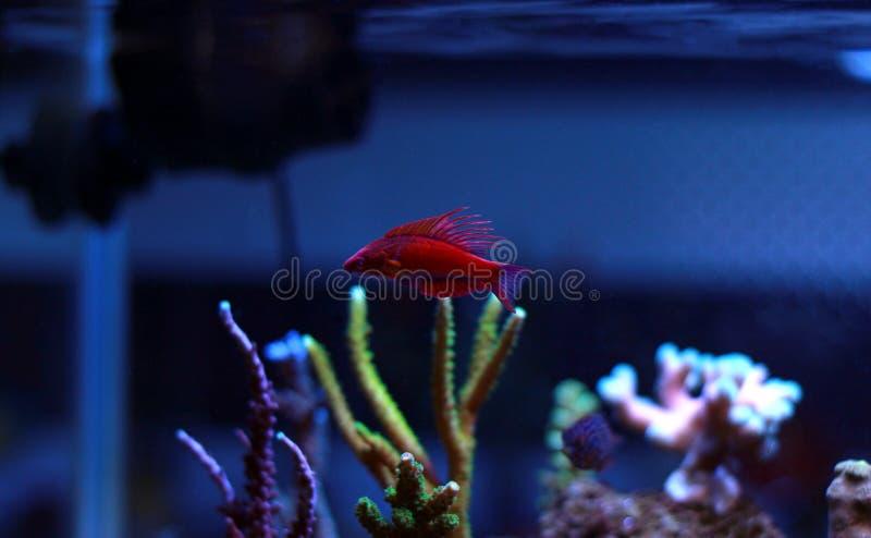 Linespot Flasher Wrasse Paracheilinus lineopunctatus royalty free stock photography