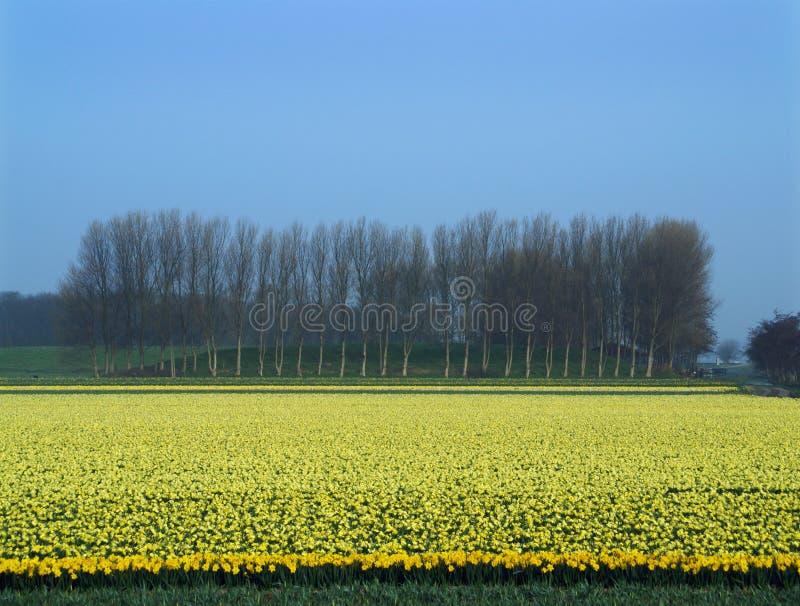 Lineup van bomen en een gebied van bloeiende gele narcissen stock afbeelding