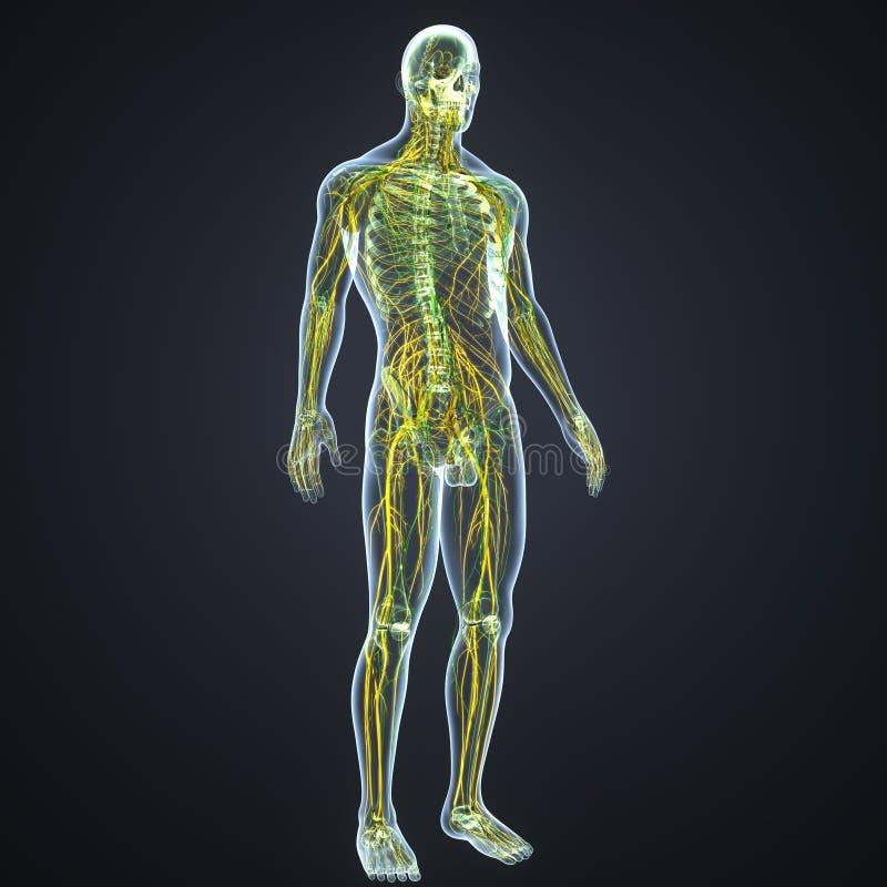 Linfonodi e dei nervi con l'ente di scheletro royalty illustrazione gratis