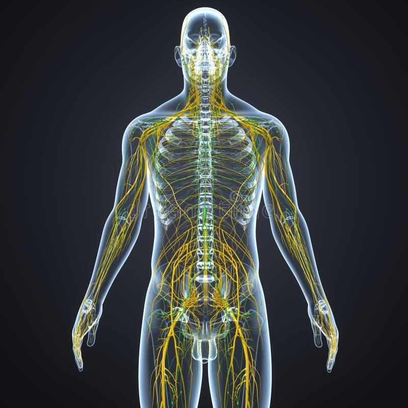 Linfonodi e dei nervi con l'ente di scheletro illustrazione di stock