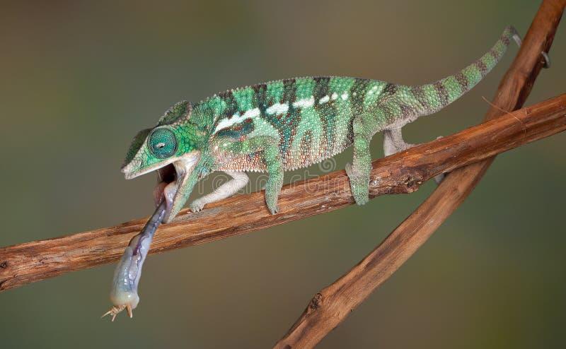 Lingüeta do Chameleon no grilo imagem de stock