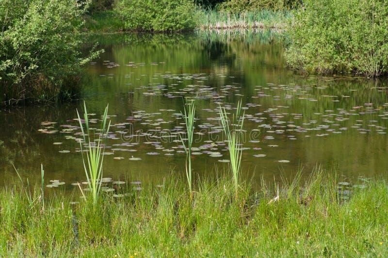 Lingüeta em uma lagoa fotografia de stock