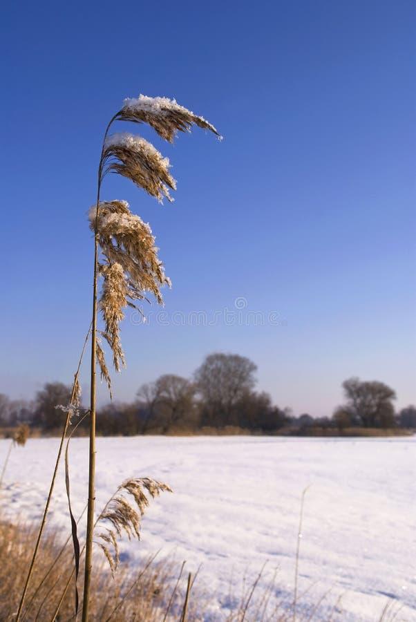 Download Lingüeta no inverno imagem de stock. Imagem de lingüeta - 12810575