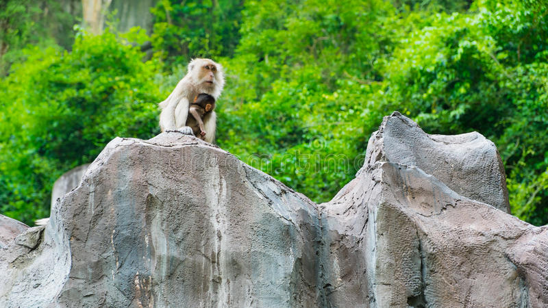 Ling obsiadanie na falezie, małpy zdjęcie royalty free